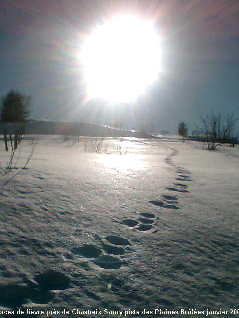 lièvre des neiges