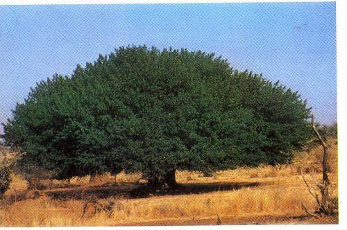 L'arbre géant