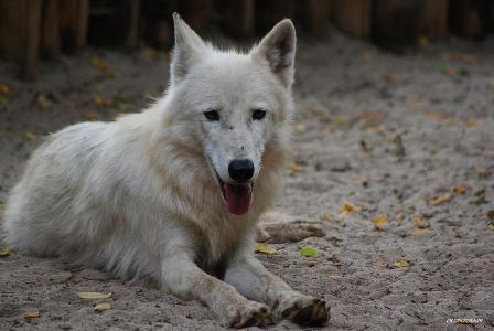 Le loup au repos