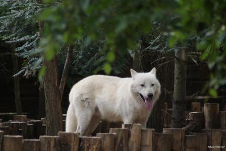 Le loup a chaud