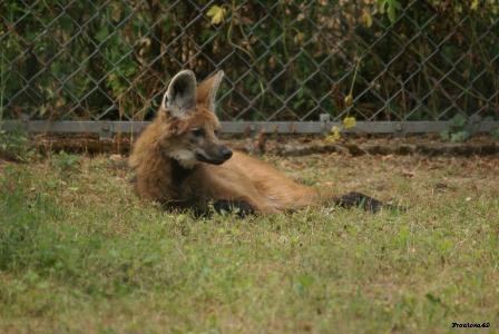 Loup à crinière 6 Juin 2011