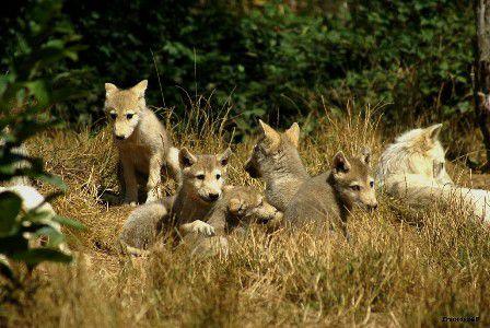 Les 5 louveteaux réunis
