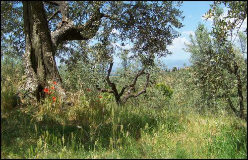 oliviers et coquelicots