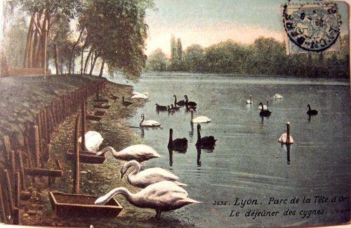 Lyon - Parc de la tête d'or - déjeuner des cygnes