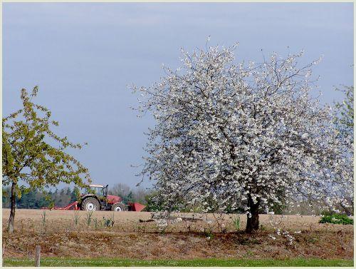tracteur rouge et cerisier blanc