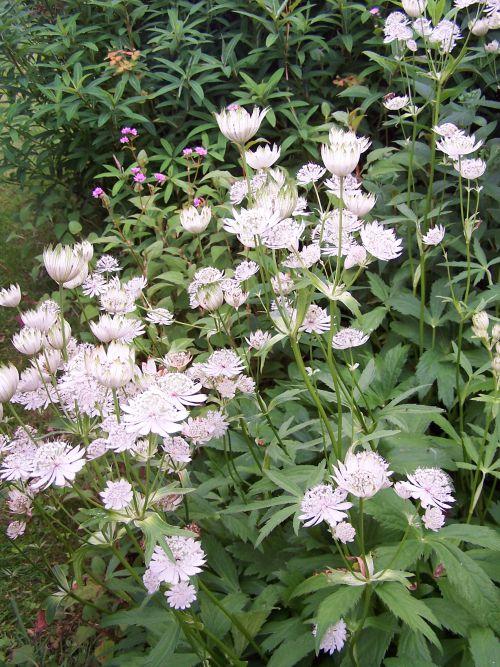 dans un beau jardin normand; fleur inconnue, merci de me l'indiquer