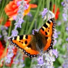 papillon_135.jpg
