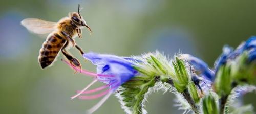 une-abeille-recueille-le-nectar-d-une-fleur_5010109.jpg