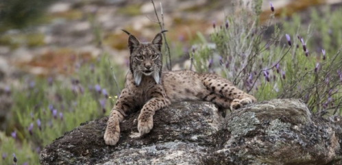 le lynx espagnol.jpg
