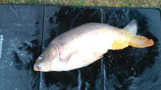 carpe miroir 7.600 kg, pêche de Eddy, 29 juillet 2018