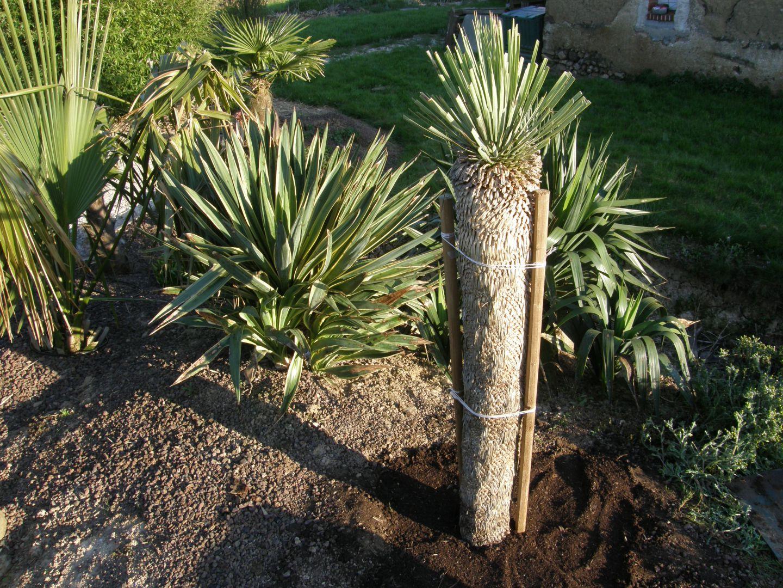 le yucca rostrata conseils pour cr er un jardin exotique sous nos climats. Black Bedroom Furniture Sets. Home Design Ideas