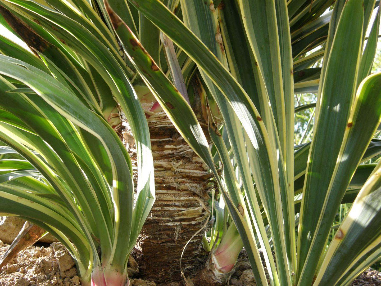yucca gloriosa variegata conseils pour cr er un jardin exotique sous nos climats. Black Bedroom Furniture Sets. Home Design Ideas