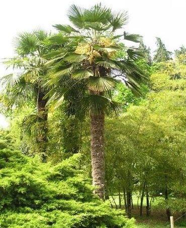 trachycarpus wagnerianus conseils pour cr er un jardin exotique sous nos climats. Black Bedroom Furniture Sets. Home Design Ideas