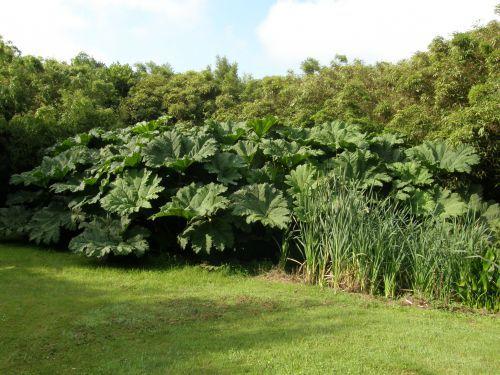 Le gunnera manicata conseils pour cr er un jardin exotique sous nos climats - 1m70 en pied ...