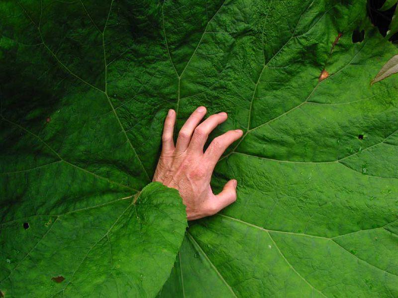 Petasites hybridus conseils pour cr er un jardin - Creer un jardin exotique sous nos climats ...