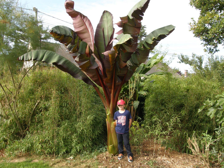 ensete ventricosum maurelii - conseils pour créer un jardin exotique
