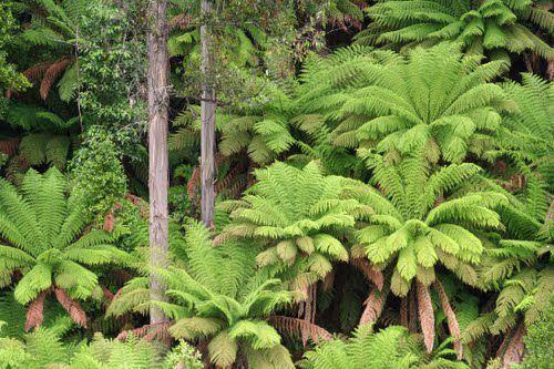 Dicksonia dans son habitat naturel...
