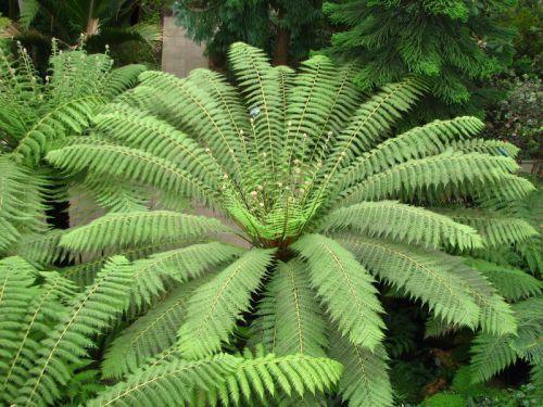 Les feuilles de Dicksonia...