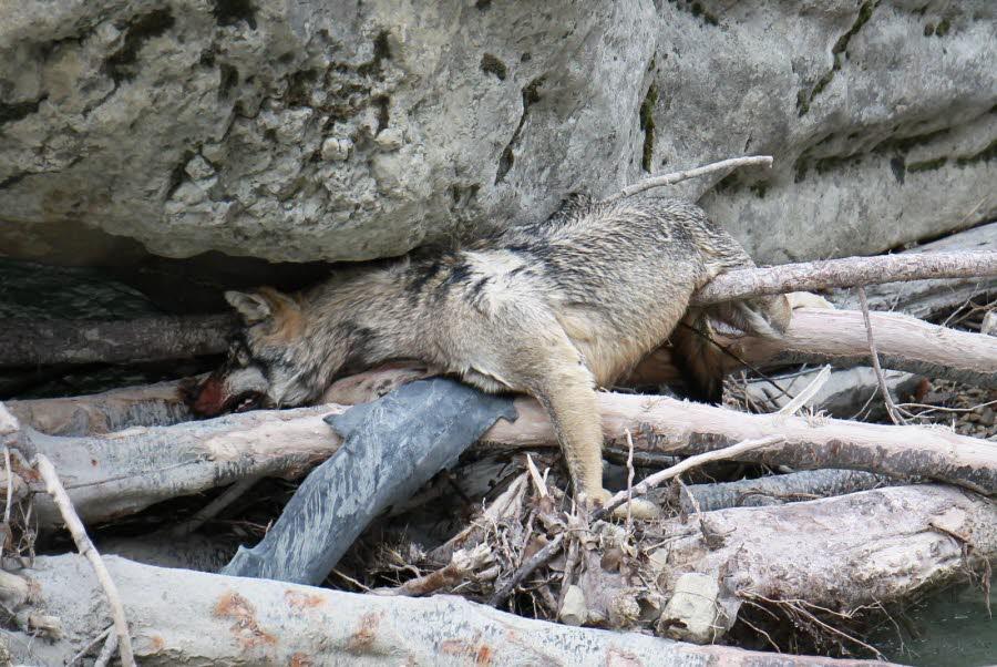 le-cadavre-de-l-animal-a-ete-retrouve-dans-des-branchages-cadavre-de-loup-en-meouge-1482180815.jpg