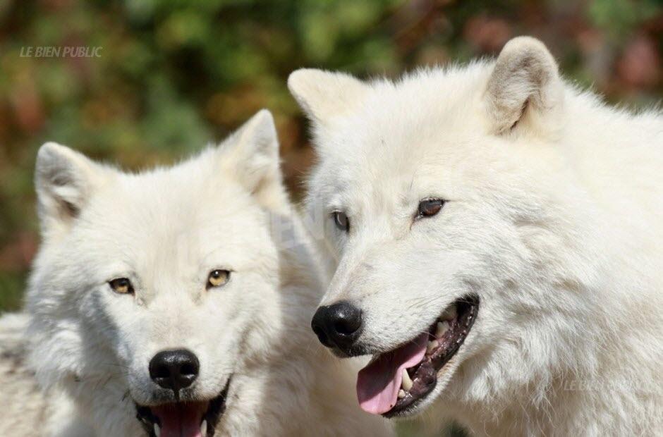 quatre-loups-blancs-viennent-d-arriver-au-parc-photo-dr-1465327170.jpg