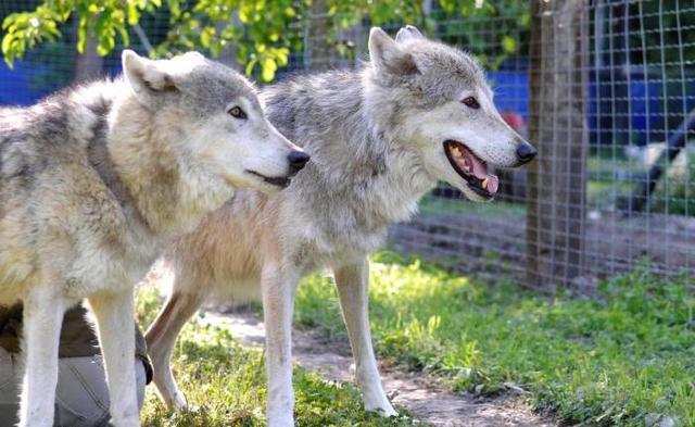 Les-Deux-Sevres-vont-accueillir-un-sanctuaire-pour-les-loups_image_article_large.jpg