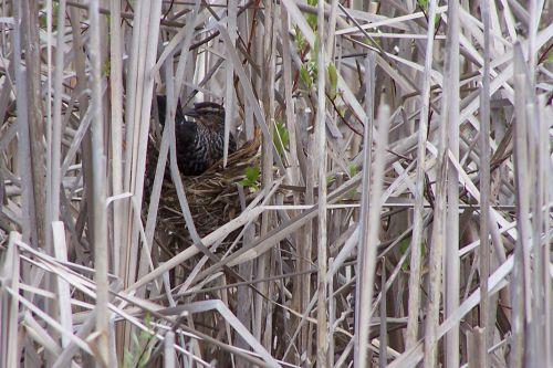 Une femelle de merle d ' Amérique au nid