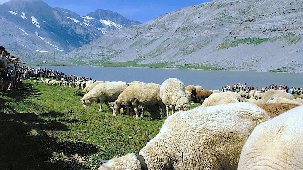 Cette Fête des Moutons a lieu tous les ans à la fin juillet sur les rives du lac Dauben au Gemmipass. Blancs des Alpes bernois et Nez noirs valaisans s'unissent alors pour déguster le Gläck: un mélange de son et de sel dont les moutons sont particulièrement friands.? Puis c'est le tour des bergers de se rassembler. Venus de l'Oberland protestant par le flanc nord et du Haut-Valais catholique par le sud, ils célèbrent ensemble un culte œcuménique.