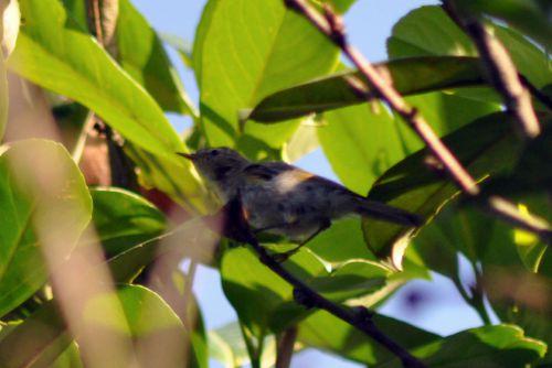Pouillot ou peut être jeune chardonneret... Il est venu pendant une semaine dans ce même arbre en poussant un cri aigu régulier.