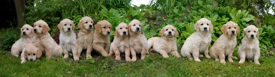 Album photos de vos Golden Retriever, nés chez les Gold Chorus