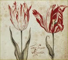 origine de la tulipe.jpg