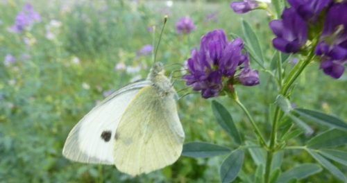 papillons et champs 02 10 2013 107pm.jpg