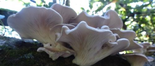 champignons octobre2013 081pm.jpg
