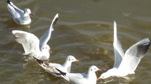 divers et oiseaux janv 2014 dahouet 051pm.jpg