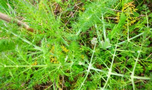 plantes sauvages mars 2014 017pm.jpg