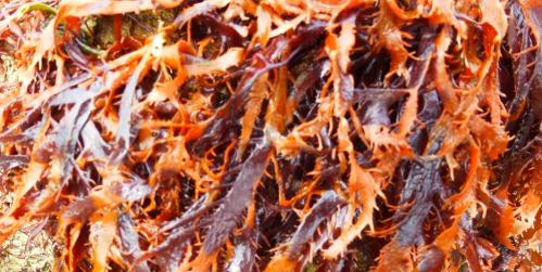 salade et algues  mars 2014 041pm.jpg