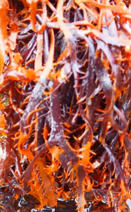 salade et algues  mars 2014 054pm.jpg