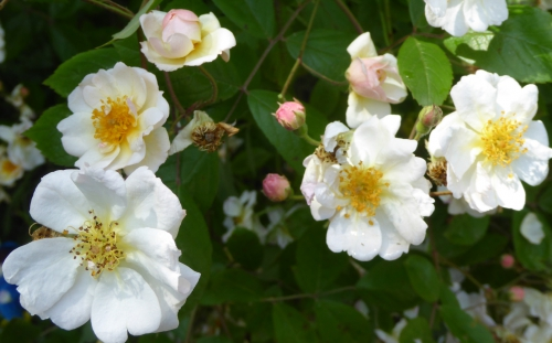 jardin melanges juin 2015 013pm.jpg