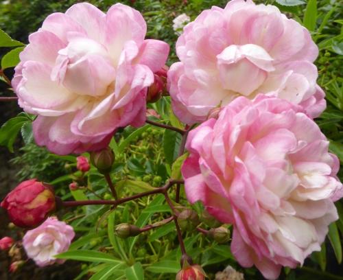 jardin melanges juin 2015 099pm.jpg