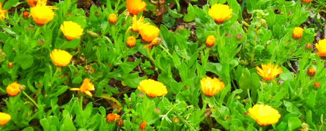 plantes sauvages mars 2014 026pm.jpg