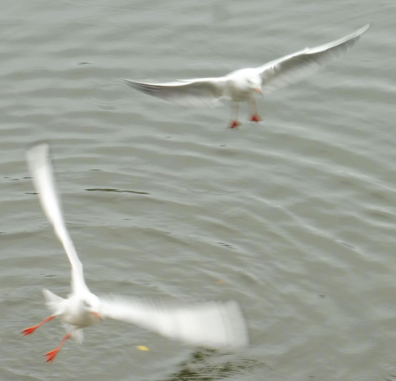 Mouettes 07 11 2017 001pm.jpg