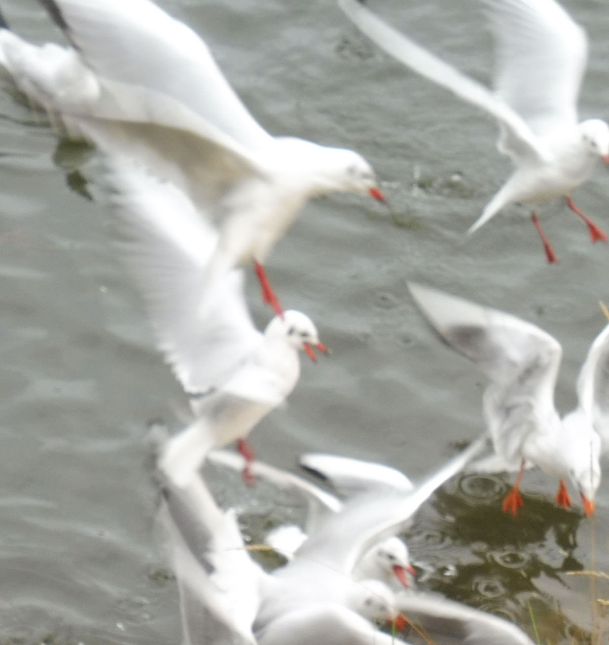 Mouettes 07 11 2017 054pm.jpg