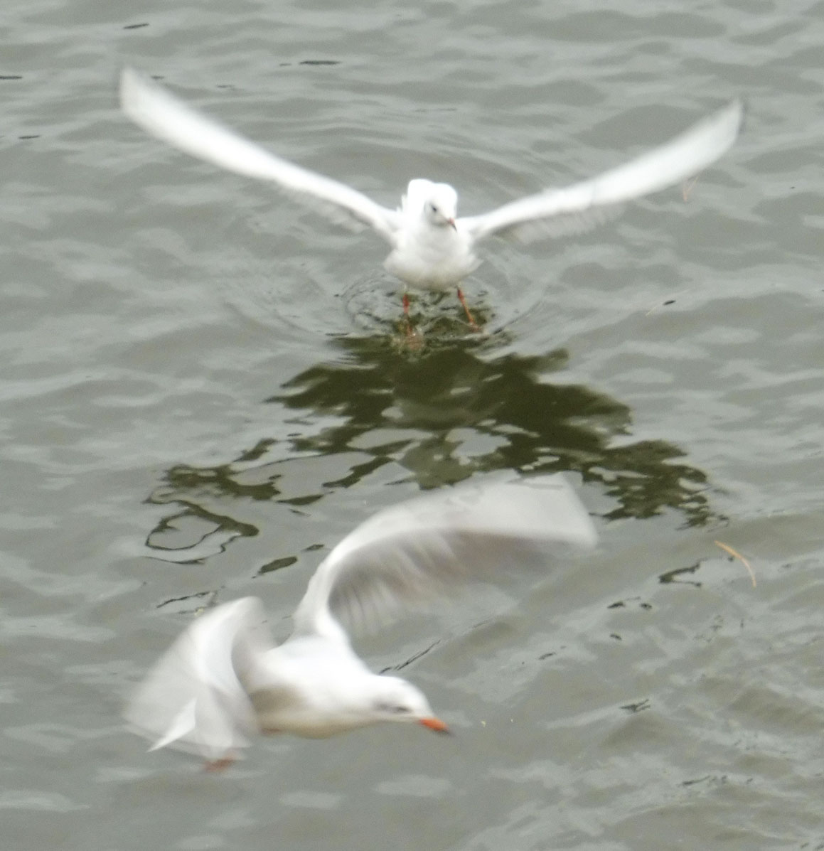 Mouettes 07 11 2017 058pm.jpg