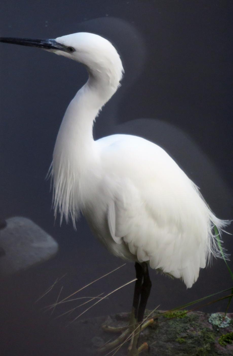 Oiseaux NOV 2018 013pm.jpg