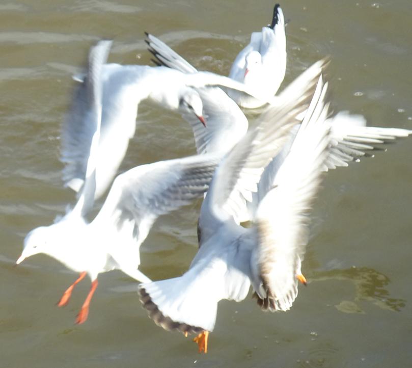divers et oiseaux janv 2014 dahouet 058pm.jpg