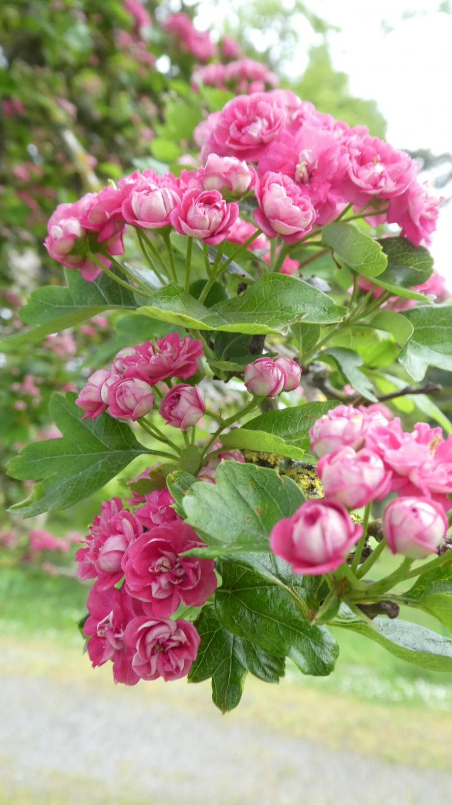 Flora AN Avril 29 202° 106.JPG