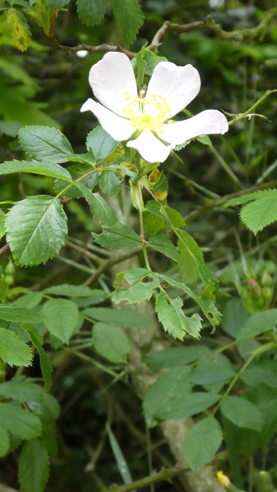 Flora 05 MAI 2020 NA 316.JPG