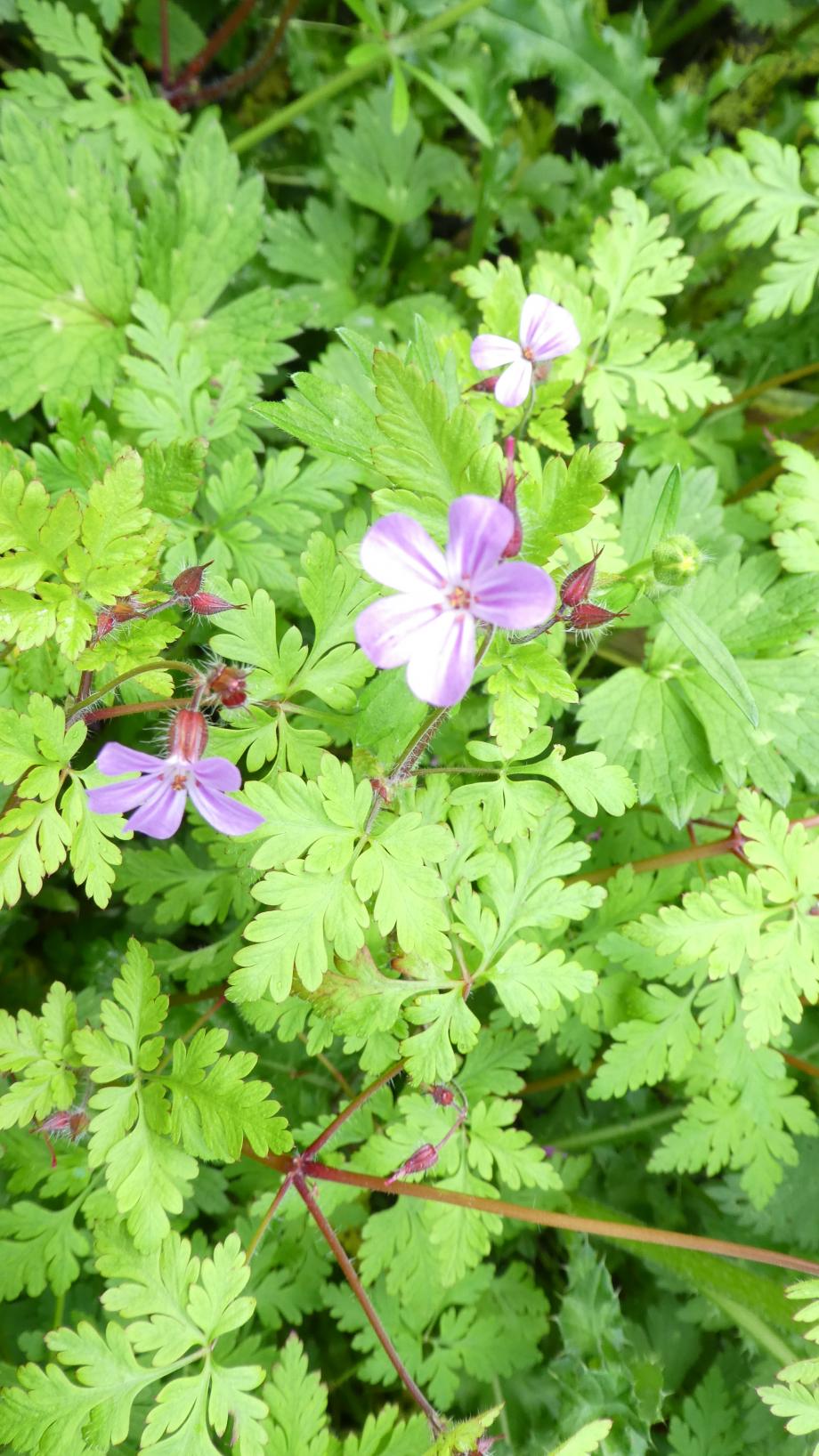 Flora 05 MAI 2020 NA 032.JPG