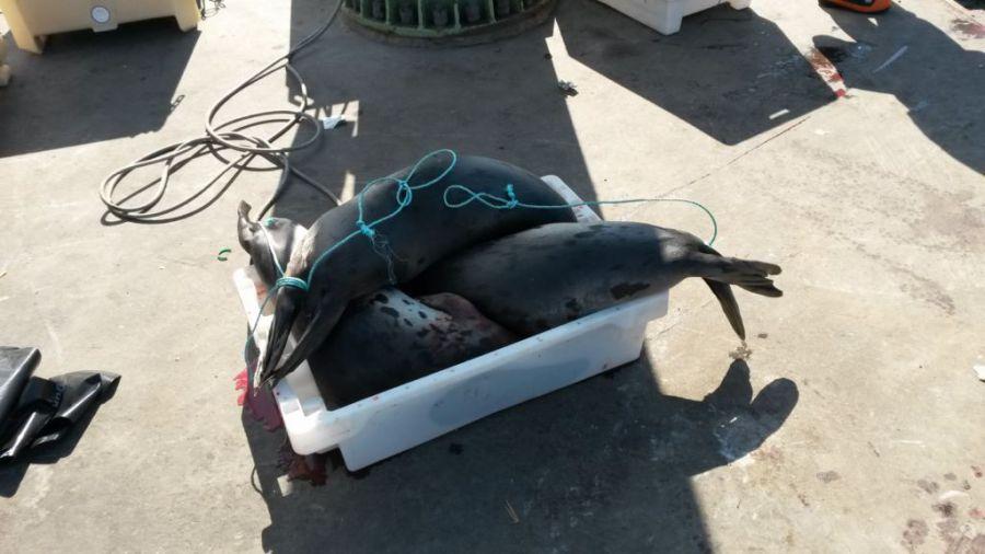 On mange du phoque au Groenland