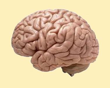 Cerveau humain.jpg