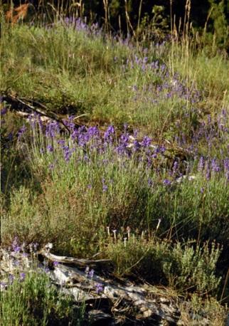 Lavande Aspic 3.jpg